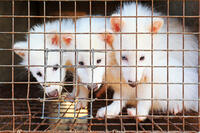white raccoons in cage