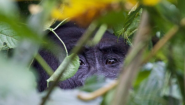 A Grauer's gorilla peeks through the branches