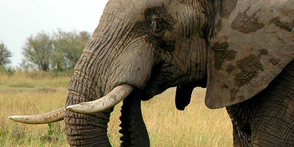 Elephant on grassy field